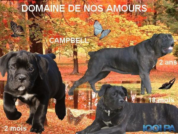 Les Cane Corso de l'affixe Du Domaine De Nos Amours