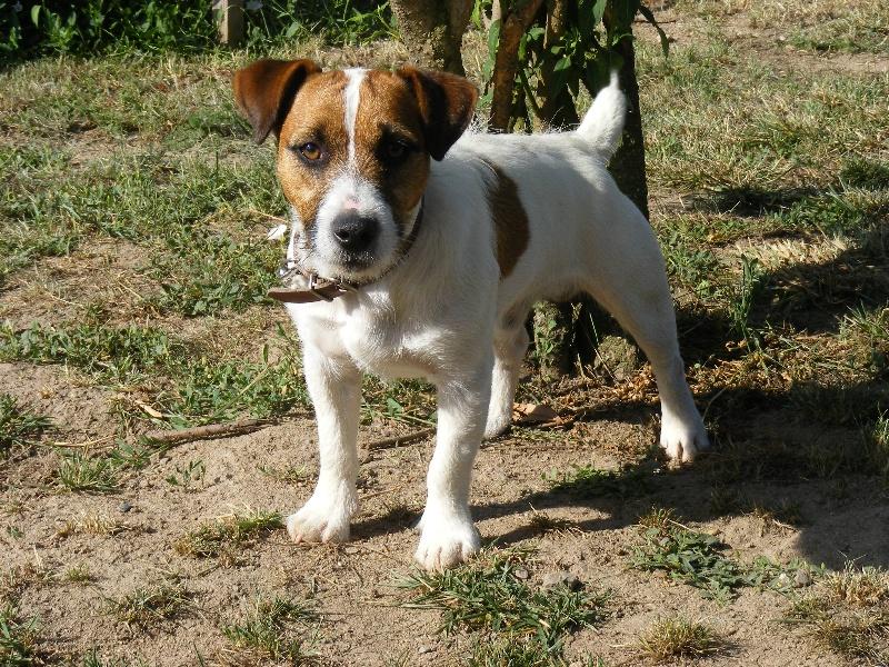 Les Jack Russell Terrier de l'affixe du domaine du rupt de mad