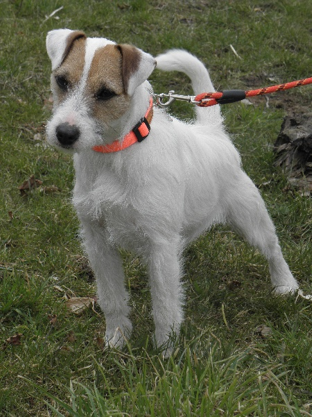 Les Parson Russell Terrier de l'affixe Butterfl 'highland