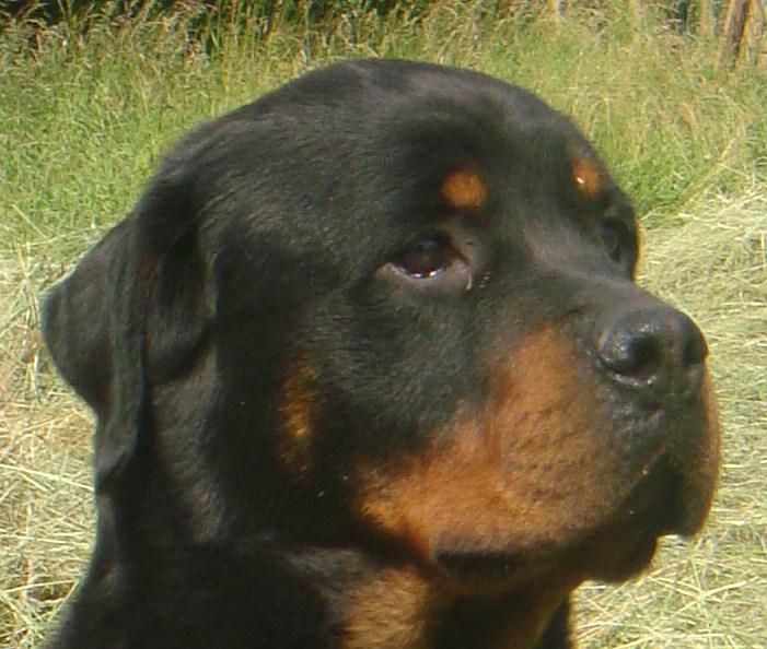 Les Rottweiler de l'affixe of elliotson's
