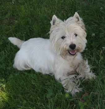 Les West Highland White Terrier de l'affixe Des coeurs d'alène