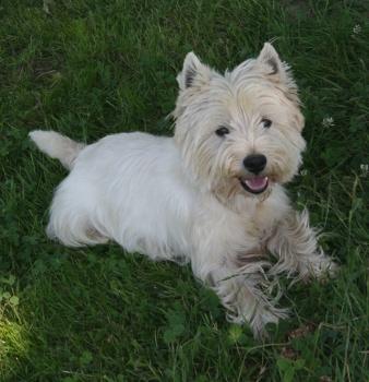 Les West Highland White Terrier de l'affixe Des coeurs d'alène