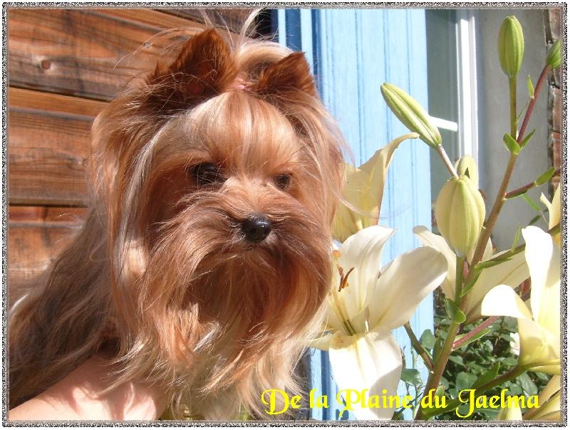 Les Yorkshire Terrier de l'affixe de la plaine du Jaelma