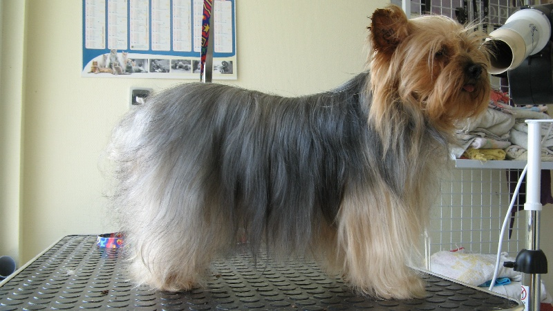 Yorkshire Terrier - Cracotte de Philernamos