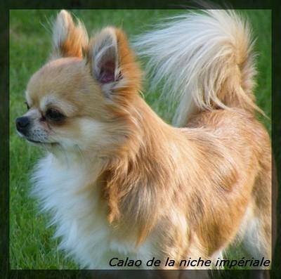 Les Chihuahua de l'affixe de la Cabane aux Peluches