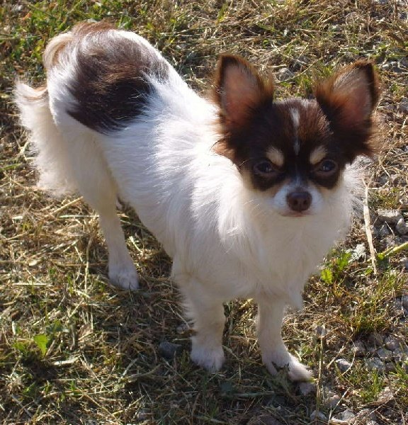Les Chihuahua de l'affixe From Lasting Love