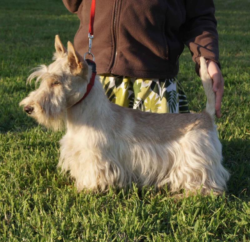 Les Scottish Terrier de l'affixe Du Chemin Du Marais Calme