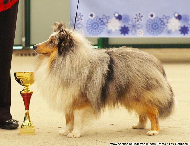 Les Shetland Sheepdog de l'affixe du Cèdre Enchanté