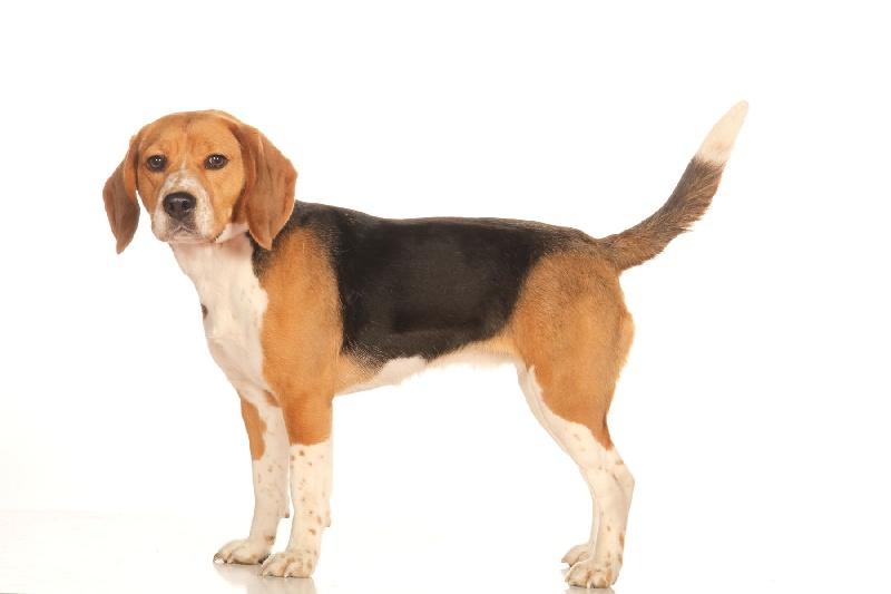 Accueil elevage du clan de sembel eleveur de chiens beagle - Chien beagle adulte ...