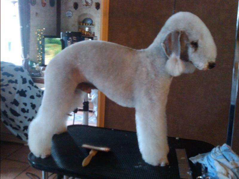 Les Bedlington Terrier de l'affixe Of Lovely Star Generation