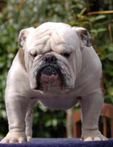 Les Bulldog Anglais de l'affixe Arcane Land