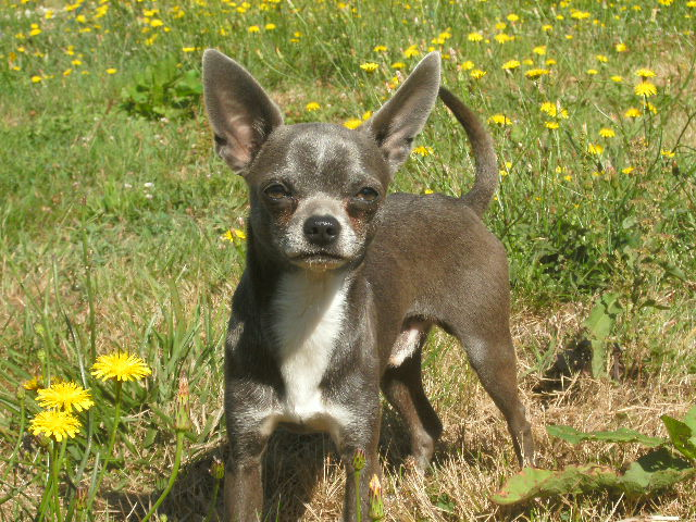 Les Chihuahua de l'affixe Des Copains D'aldo