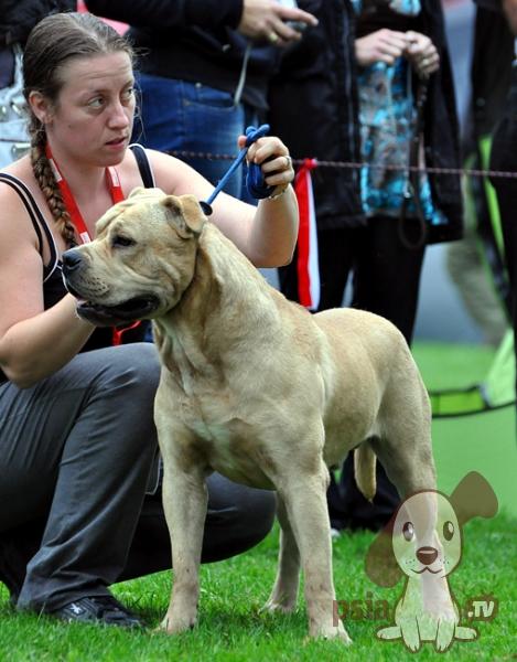 Le Standard de la race Dogue de Majorque sur Atara.com