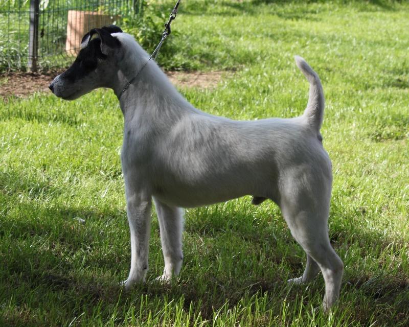 Les Fox Terrier Poil lisse de l'affixe du Manoir Saint Adrien
