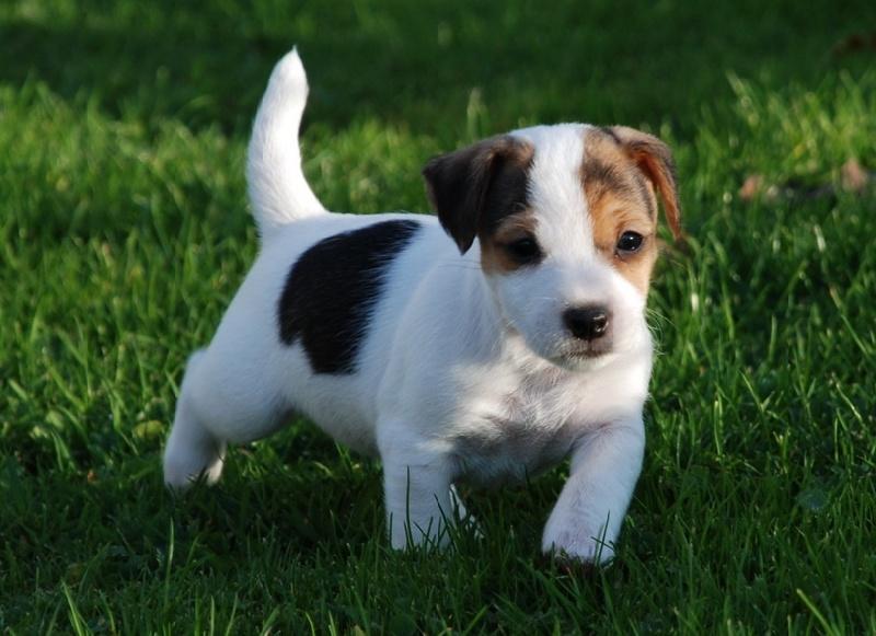 Les Jack Russell Terrier de l'affixe Du champ de l'ormeau
