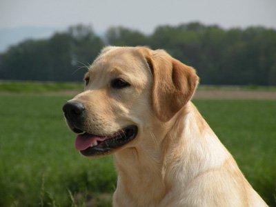 Labrador Retriever - Dieweg larry du clos des simandrés