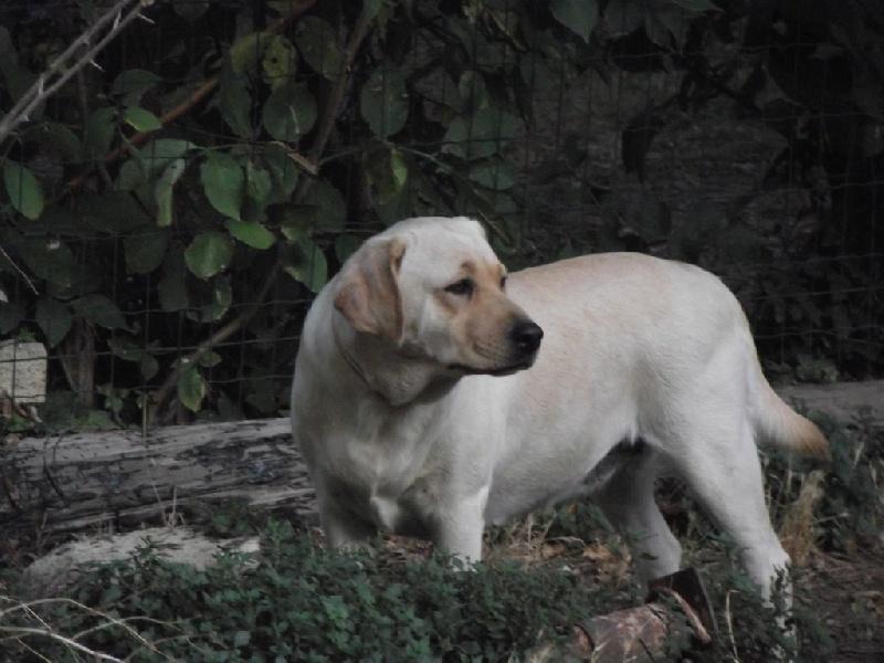 Les Labrador Retriever de l'affixe Blue Rimrock