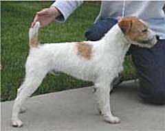 Le Standard de la race Parson Russell Terrier sur Atara.com