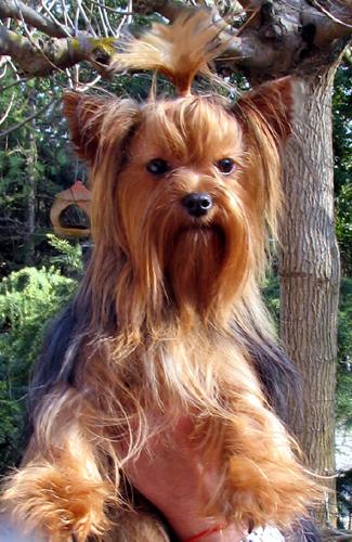 Les Yorkshire Terrier de l'affixe Vannjty