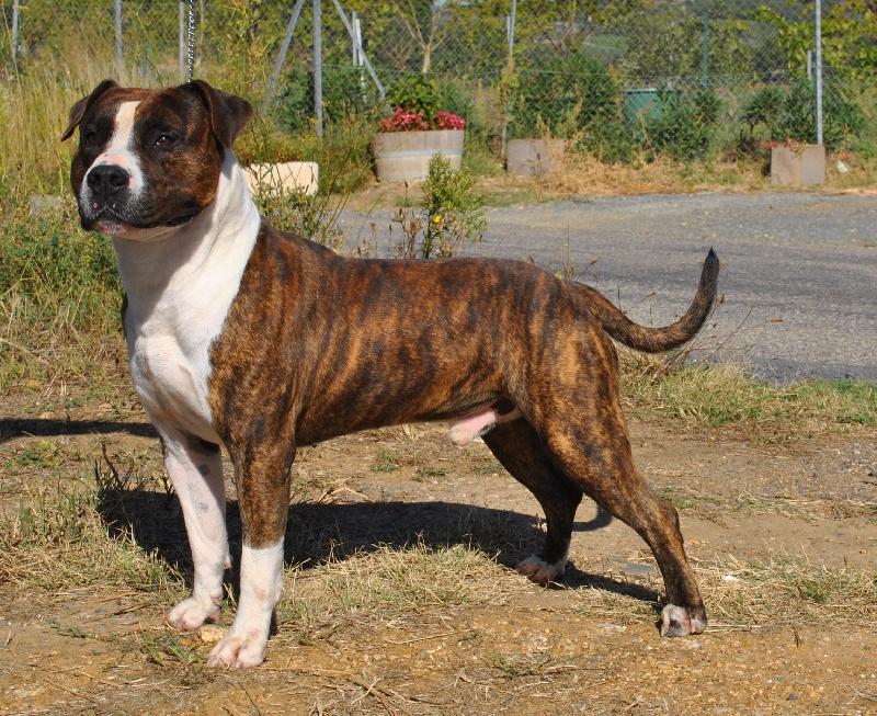 Les American Staffordshire Terrier de l'affixe du royaume d'Isis