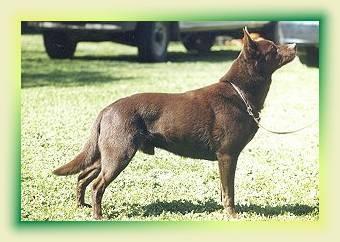 Le Standard de la race Australian Kelpie sur Atara.com