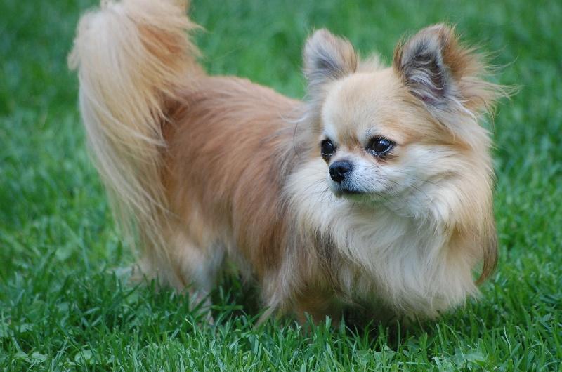 Les Chihuahua de l'affixe Des plaines de cornouailles
