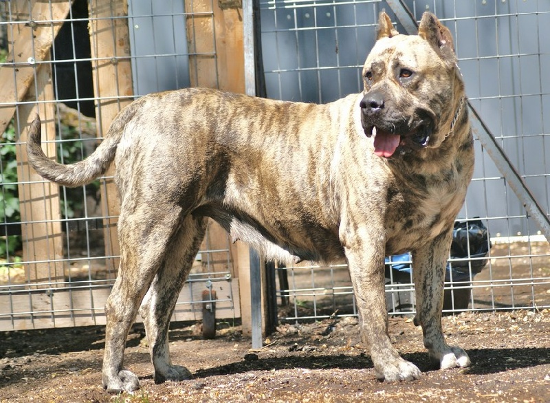 Les Dogo Canario de l'affixe des Terres d'Europe