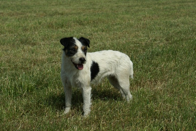 Les Parson Russell Terrier de l'affixe d'Ar Dervenn