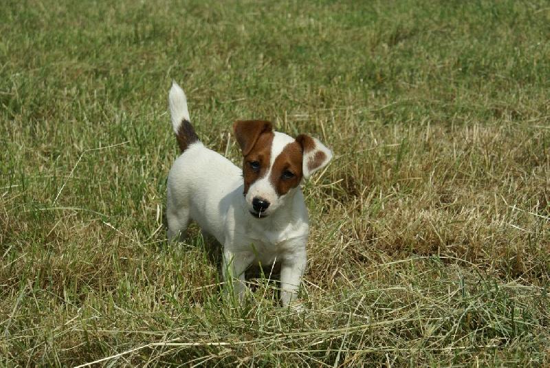 Les Jack Russell Terrier de l'affixe d'Ar Dervenn