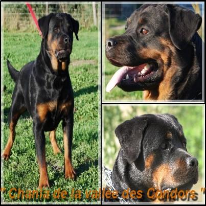Les Rottweiler de l'affixe du Domaine de Chanez