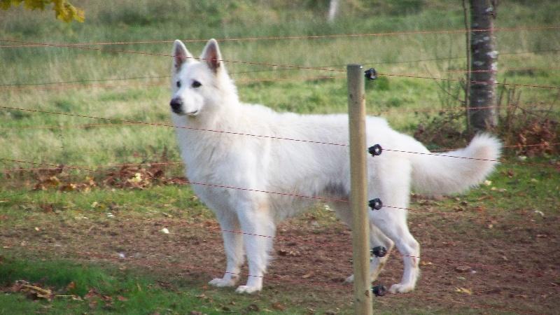 Sehr Du terrier des loups blancs Cysko du domaine du chène au loup  YL52