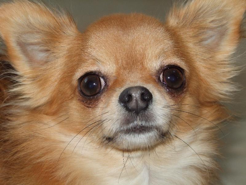Les Chihuahua de l'affixe des Jardins Catalans