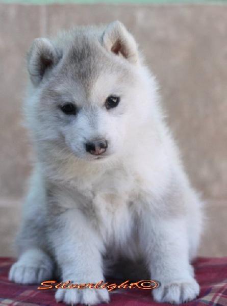 Les Siberian Husky de l'affixe Artichusky