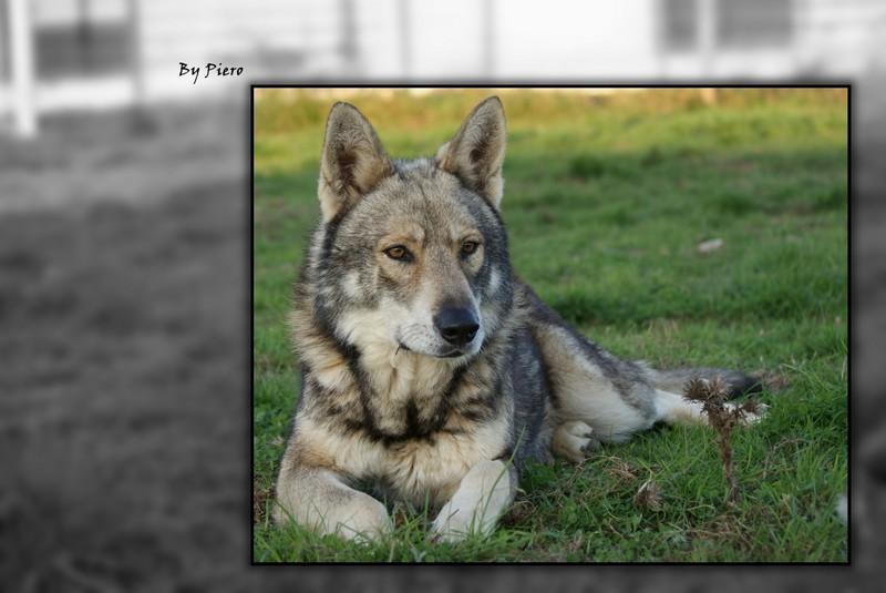 Les Chien-loup de Saarloos de l'affixe Des Loups De Leendert