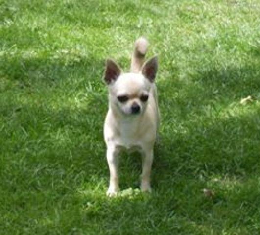 Les Chihuahua de l'affixe des Chichis de Charly