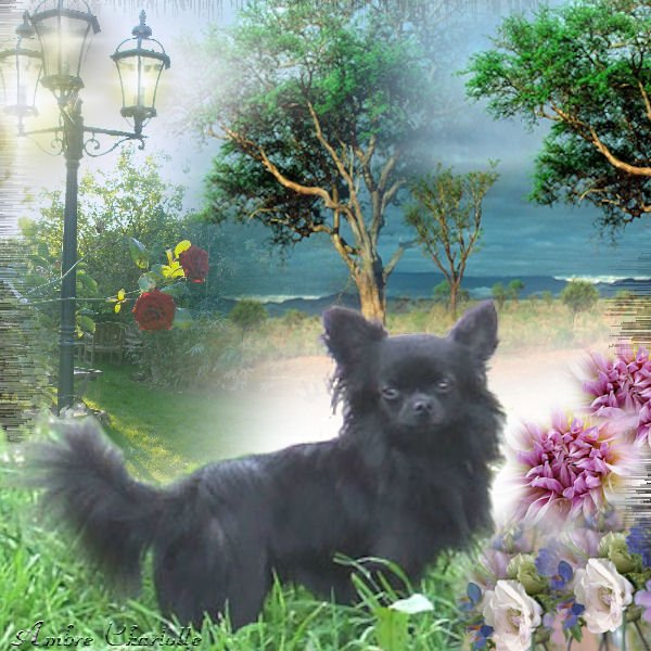 Les Chihuahua de l'affixe du Jardin des Lutins