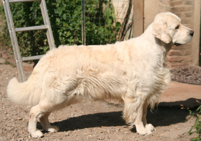 Les Golden Retriever de l'affixe Mellowfield's