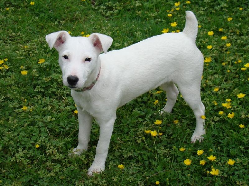 Les Jack Russell Terrier de l'affixe Du Clos De La Rabotiere