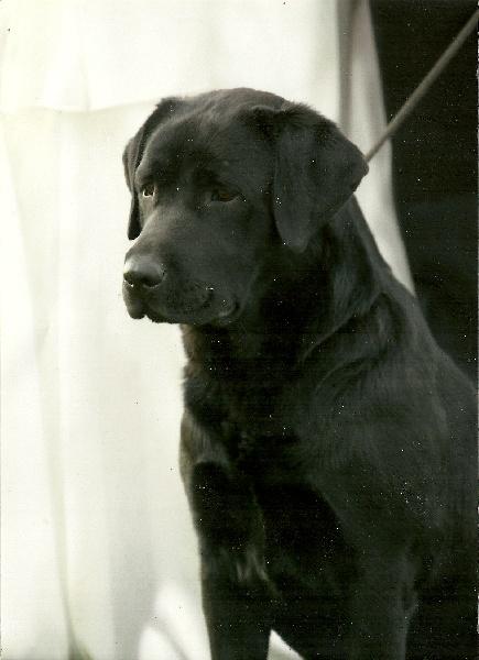 Les Labrador Retriever de l'affixe des Forets Ephemeres