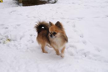 Les Chihuahua de l'affixe de la Légende de Shanti