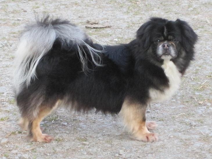 Epagneul tibetain - Bottine noire du Cèdre Enchanté