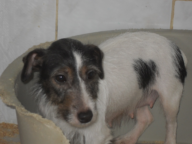 Les Jack Russell Terrier de l'affixe d'Aydoilles