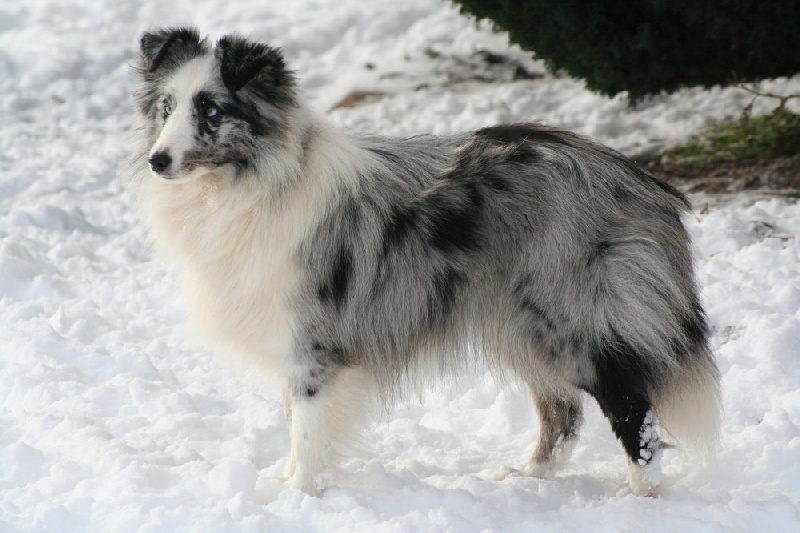 chien elevage du domaine de la salvoni re eleveur de chiens shetland sheepdog. Black Bedroom Furniture Sets. Home Design Ideas