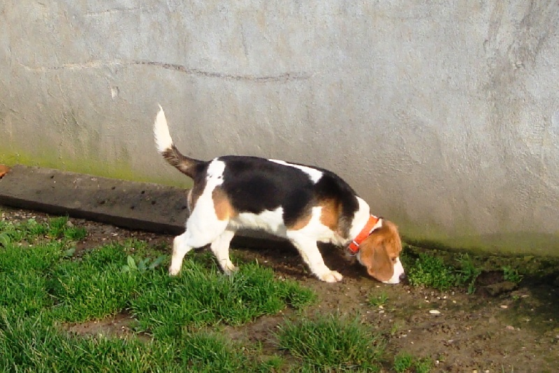 Les Beagle de l'affixe Du Giron