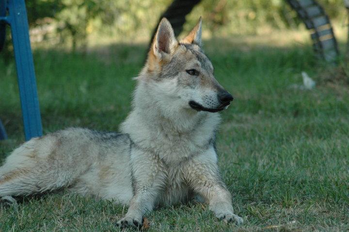 Les Chien-loup tchecoslovaque de l'affixe de la Légende du Loup Celeste