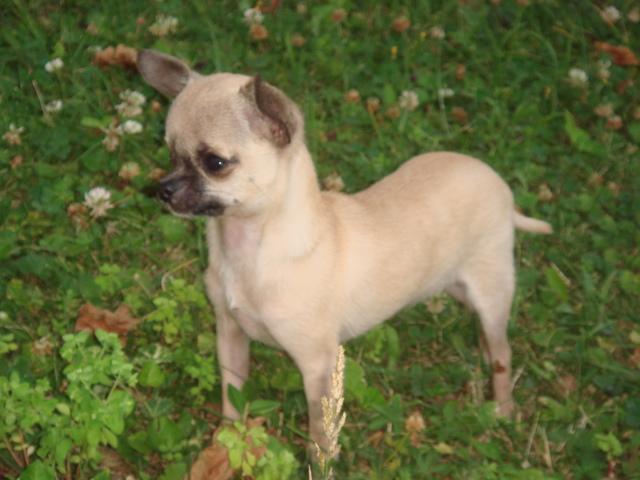Les Chihuahua de l'affixe du chateau Fraye