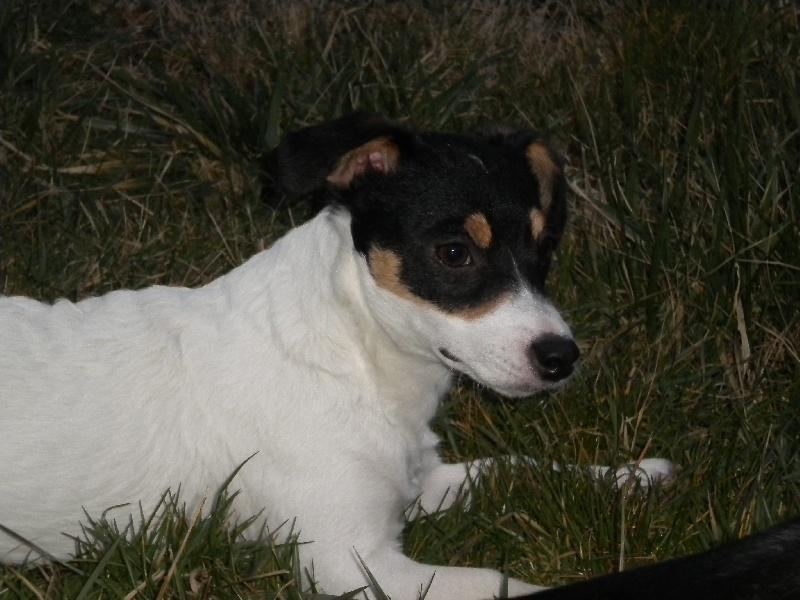 Les Jack Russell Terrier de l'affixe Live with hope