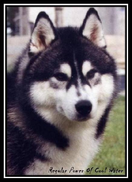 Les Siberian Husky de l'affixe of nashkaia