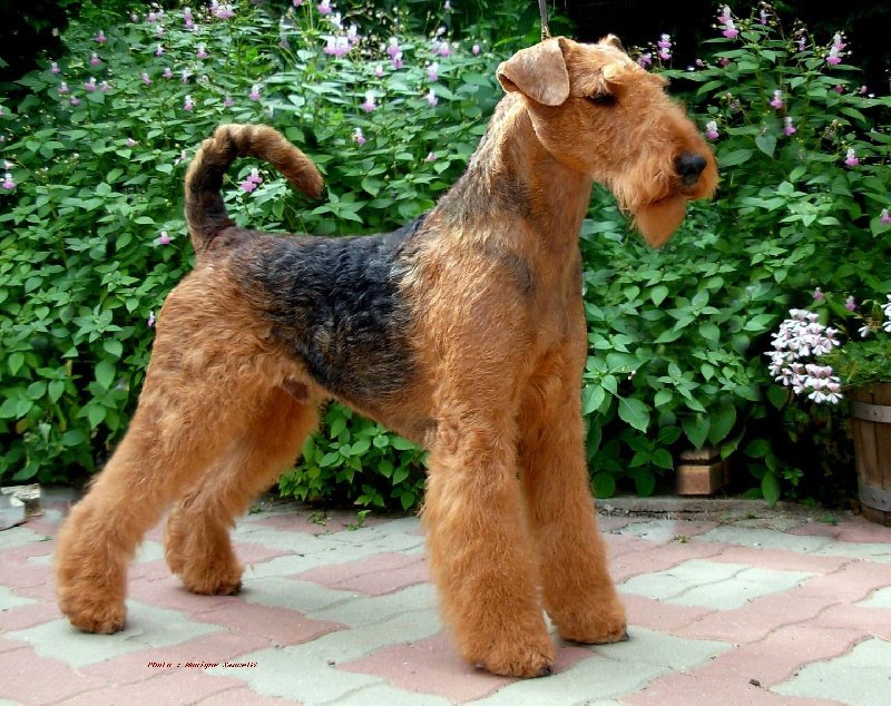 Airedale terrier elevage