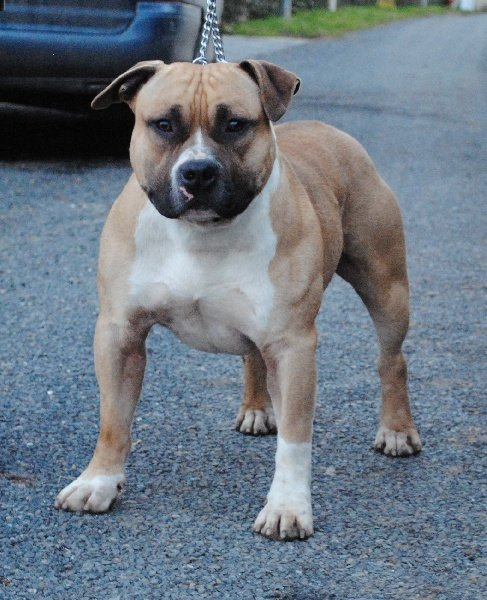 Les American Staffordshire Terrier de l'affixe Of Lady's Staff